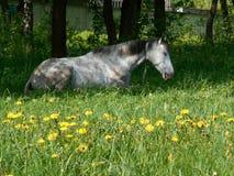 Grå häst som sover på det gröna gräset Royaltyfria Bilder