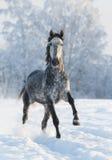 Grå hästkörningsgalopp i vinter royaltyfria foton