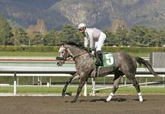 grå hästkapplöpningroan Arkivbilder