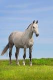 Grå hästställning Royaltyfria Bilder