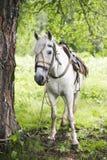 Grå hästställning och vänta nära ett träd Royaltyfria Foton
