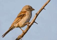 grå hövdad sparrow royaltyfri bild