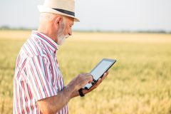 Grå haired agronom eller bonde som använder en minnestavla i vetefält royaltyfria bilder