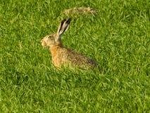 Grå hare på fält arkivbild