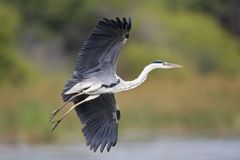 grå heron arkivfoton