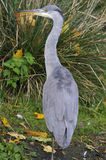 grå heron Royaltyfri Foto