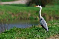 grå heron Arkivfoto