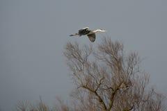 grå heron Royaltyfria Foton