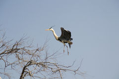 grå heron Royaltyfri Bild