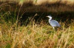 grå heron Royaltyfri Fotografi