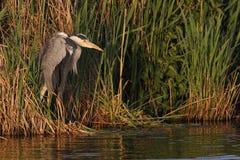grå heron Royaltyfria Bilder