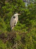 grå heron Cinerea Ardea Royaltyfria Foton