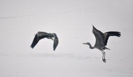 Grå Heron, cinerea Ardea Fotografering för Bildbyråer