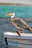 grå heron maldives Arkivbild