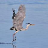 Grå Heron som tar av över vatten fotografering för bildbyråer