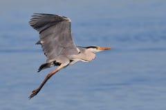 Grå Heron som tar av över vatten Arkivfoton