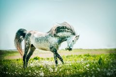 Grå hingsthästspring på sommar betar fotografering för bildbyråer