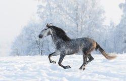 Grå hingstkörningsgalopp i vinter Fotografering för Bildbyråer