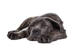 Grå hund för rottingcorsovalp Arkivfoto
