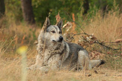 Grå hund som utomhus ligger Royaltyfri Fotografi