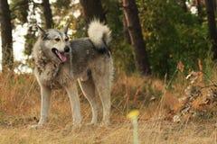 Grå hund som utomhus ligger Royaltyfria Bilder