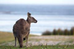 grå kängurumacropus för östlig giganteus Fotografering för Bildbyråer