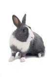 grå kanin