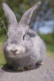 grå kanin Arkivfoto