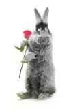 grå kanin Fotografering för Bildbyråer