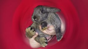Grå kanin i mannens händer på en röd bakgrund royaltyfria bilder