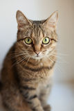 Grå katt Arkivfoto