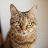 Grå katt Royaltyfria Foton