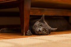 Grå katt Fotografering för Bildbyråer