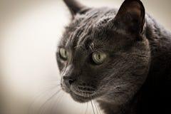 Grå katt Arkivbilder