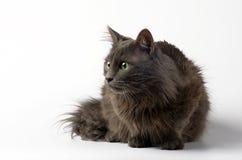 Grå katt framme av en vit bakgrund royaltyfri bild