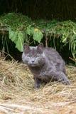 Grå katt i en ladugård på hö Royaltyfri Fotografi