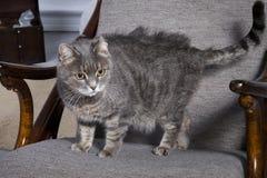 Grå katt i en stol Royaltyfri Fotografi