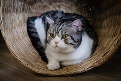 Grå katt i en träkorg royaltyfri fotografi