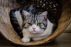 Grå katt i en träkorg royaltyfri foto