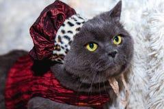 Grå katt i hatten Royaltyfri Foto