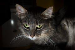 Grå katt i skuggorna Arkivbilder