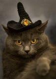Grå katt i svart allhelgonaaftonhatt royaltyfria bilder