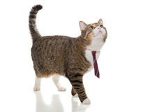 Grå katt med ett rött band Fotografering för Bildbyråer