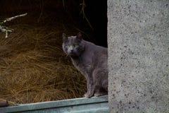 Grå katt med gröna ögon som ser kameran royaltyfri bild