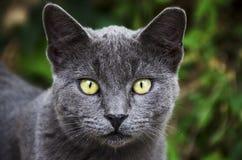 Grå katt med gula ögon Royaltyfri Bild