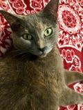 Grå katt med limefrukt färgade ögon Royaltyfri Fotografi