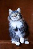 Grå katt med stora ögon Fotografering för Bildbyråer