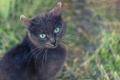 Grå katt med stora blåa ögon och en mustasch Royaltyfria Bilder