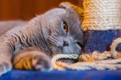 Grå katt och skrapastolpe Royaltyfri Foto