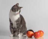 Grå katt på bakgrund med det röda äpplet Fotografering för Bildbyråer